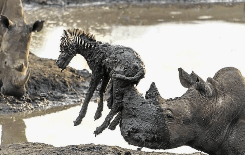 Seventeen Examples Of Animals Getting By With a Little Help From Their Friends | rhino picking up a baby zebra from a pool of mud