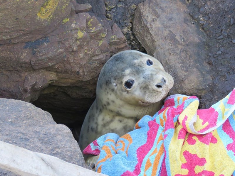A Group Of Volunteers Saves a Tiny Seal Who Was Stuck In Rocks For Hours | cute baby seal covered in a colorful blanket