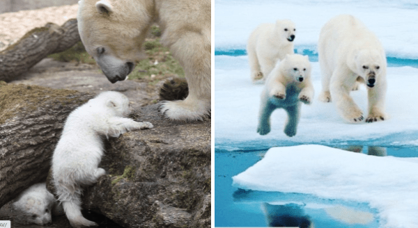 Un-Bear-Ably Cute Photos Of Momma Bears Teaching Their Cubs How To Bear | cute polar bear mama helping a baby bear climb a rock and another adult bear watching a cub jump between ice blocks