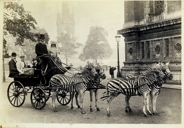 Photos Show That People Were Riding Zebras From The Late 19th And Early 20th Centuries | black and white vintage photo of a carriage pulled by zebras