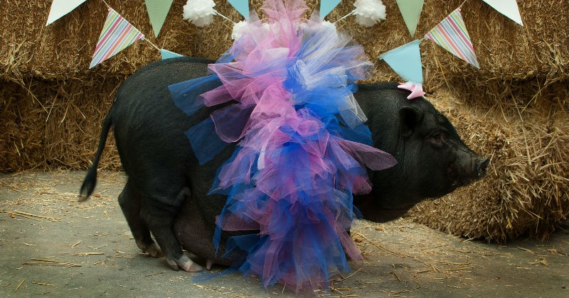 pig photoshoot maternity piglet - 1198597