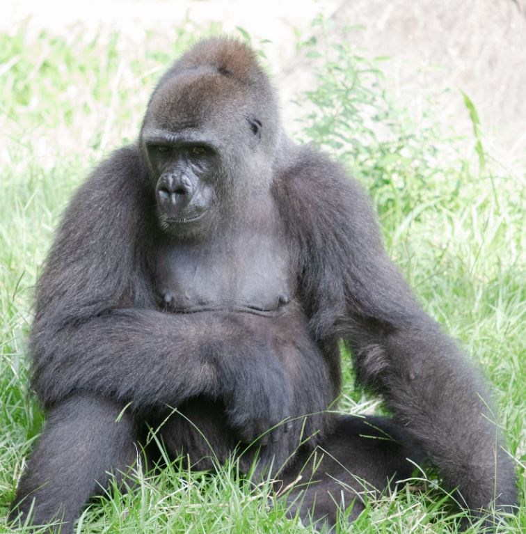endangered gorilla expecting baby gorillas aww good news wholesome uplifting animals mom