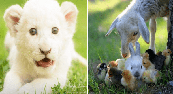 picture worth a thousand words | cute white baby lion cub | goat leaning down toward a group of baby chicken chicks surrounding a bunny