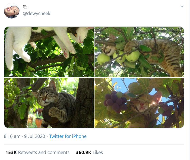 Cats Chilling On Trees | @dewycheek 8:16 am 9 Jul 2020 Twitter iPhone 153K Retweets and comments 360.9K Likes > cat sleeping in a lemon tree and kitten napping between branches of grapes
