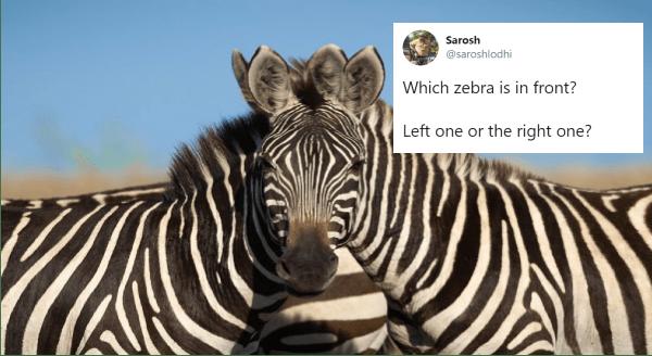 zebra animal photos optical illusion animals - 11996933