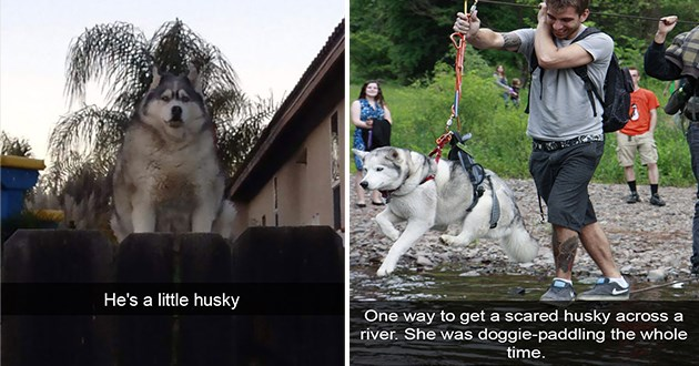 husky huskies funny lol dogs animals cute aww tumblr snaps snapchat tweets | funny pun He's little husky chubby chonky dog | One way get scared husky across river. She doggie-paddling whole time.