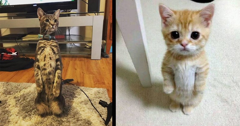 Funny images of cats standing up on their hind legs | adorable cats and kittens standing upright like people