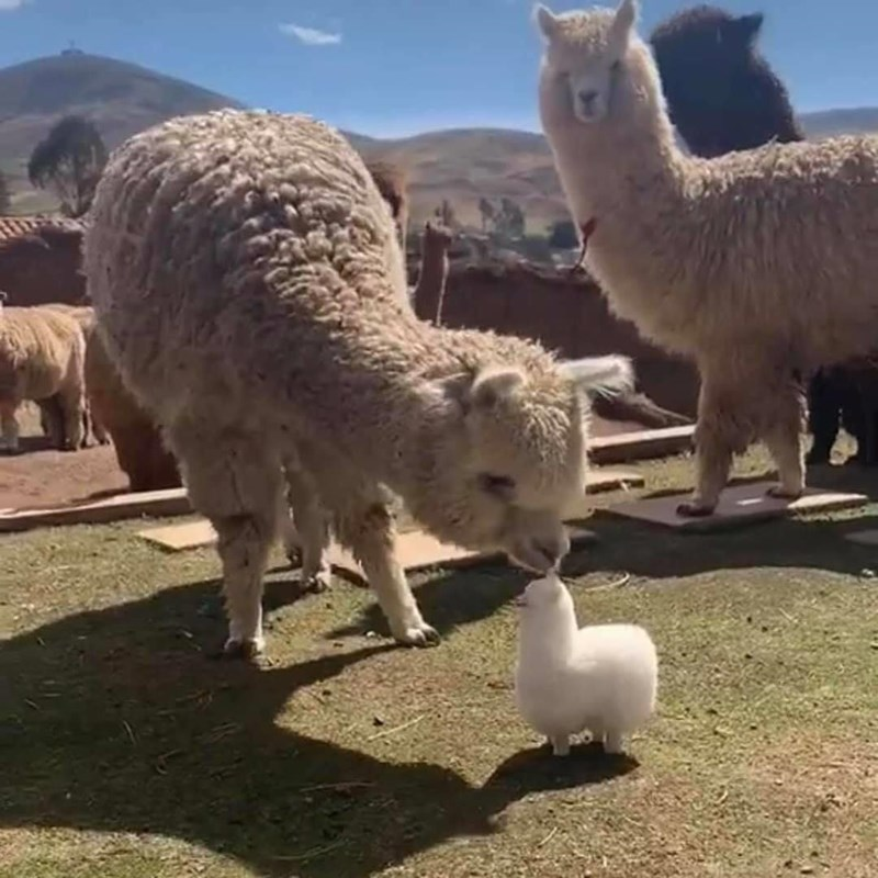 Baby alpacas photos | adorable white alpaca leaning down to sniff at a tiny alpaca plushie stuffed toy