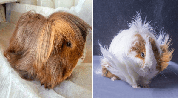 Fashionable Guinea Pigs With Fabulous Hair Styles | guinea pigs with long fur that looks like flowing locks of hair