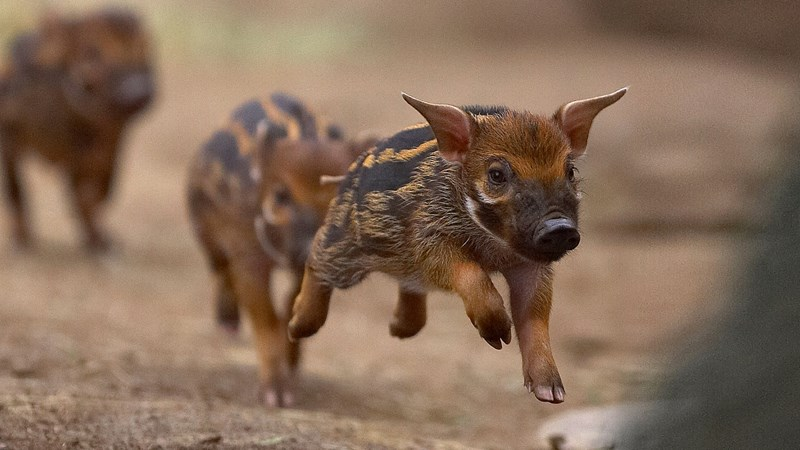 hogs pigs piglets aww cute boar wild animals adorable baby babies small
