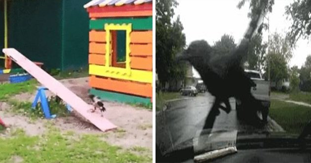 corvids birds playing funny lol vids gifs cute pranks jokers animals | bird playing on a seesaw in a children's playground | funny crow corvid sitting on a car's windshield wipers