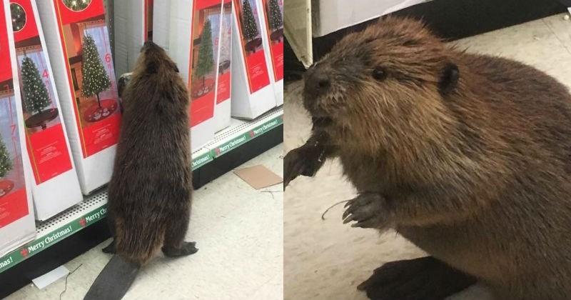 beaver,christmas,twitter
