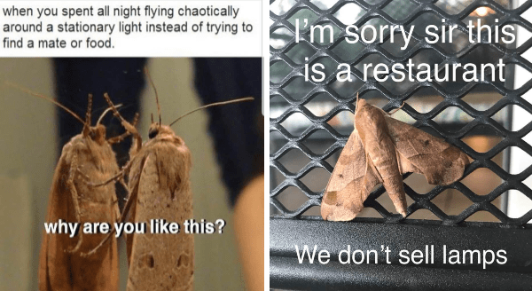 Funny moth memes | spent all night flying chaotically around stationary light instead trying find mate or food. why are like this? | I'm sorry sir this is restaurant IS don't sell lamps