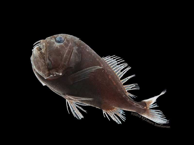 Fish discovered in the deep sea that have almost identical properties to a man-made substance that is considered the darkest, and most light absorbing, called VantaBlack