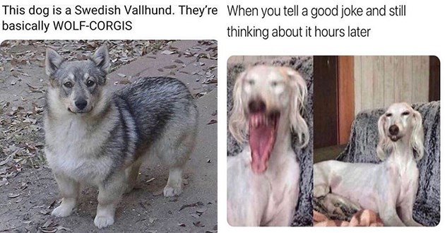 doggo dogs memes funny lol aww cute pics vids animals dog doggos meme | This dog is Swedish Vallhund. They're basically WOLF-CORGIS | tell good joke and still thinking about hours later