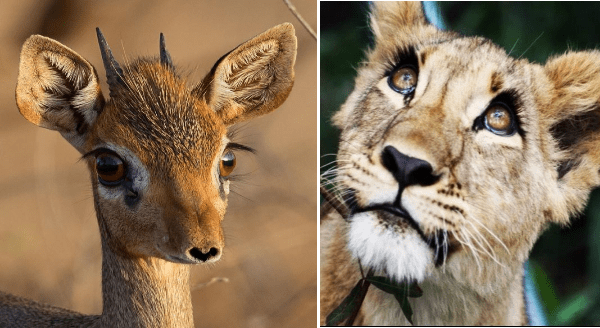 Animals With The Most Beautiful Natural Eyelashes | doe baby dear with large round eyes and long eyelashes | lioness with long dark lashes