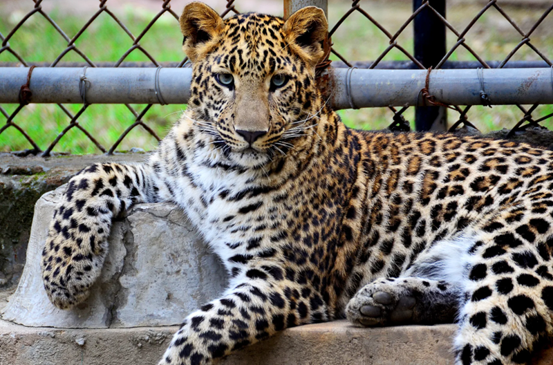 Innovative Zoo Cameras Can Now Monitor Animal's Health From Afar | Leopard