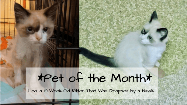 "A cover image which shows an adorable kitten with 2 casts on his front legs looking away from the camera while the text says ""Pet of the Month"" Leo, a 10-Week-Old Kitten That Was Dropped by a Hawk"