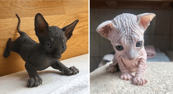 Cute sphynx kittens | adorable hairless bald little cats wrinkly skin tiny aww