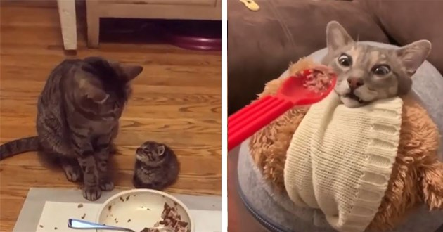 instagram funny cats videos lol cat kittens aww cute adorable silly humor animals | adult cat looking down at a tiny kitten | funny cat wearing a bib being fed with a spoon