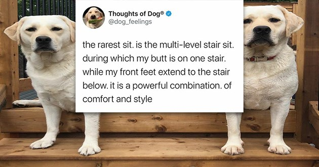 dogs sitting stairs tweets dog doggo aww cute thread twitter adorable lol | Thoughts Dog dog_feelings rarest sit. is multi-level stair sit. during which my butt is on one stair. while my front feet extend stair below is powerful combination comfort and style
