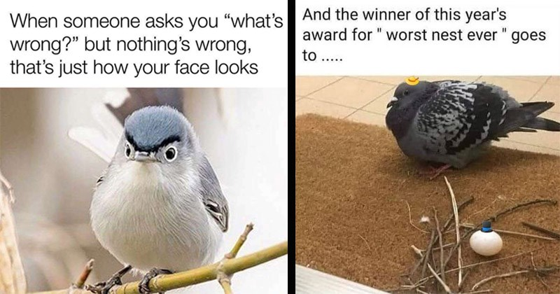 Funny memes about birds | someone asks s wrong but nothing's wrong s just face looks angry looking bird with dark eyebrows | And winner this year's award worst nest ever goes pigeon next to a pile of twigs and a single egg