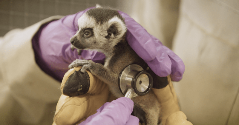 lemur twins babies born endangered cute adorable baby animals san diego zoo