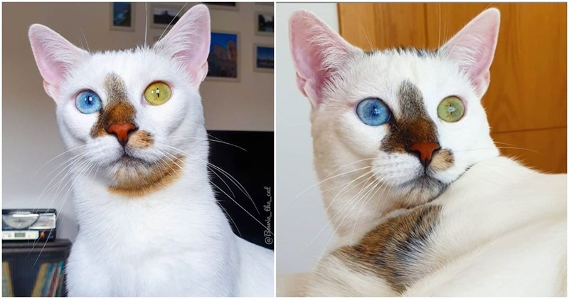 bowie cat instagram spotlight cats aww animals heterochromia beautiful cute pics