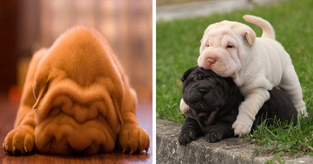 cute rolls wrinkles dogs wrinkly animals aww adorable shar pei bulldogs pics