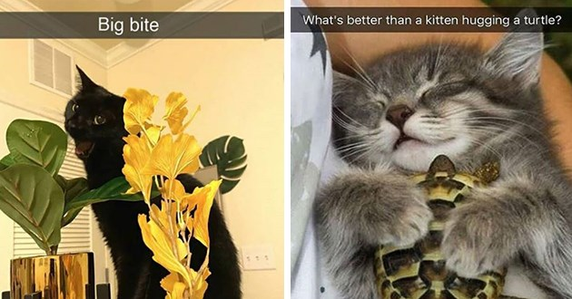 cat cats snaps snapchat animals aww cute lol funny pics adorable kittens | Big bite black cat opening its mouth to bite a leaf | better than kitten hugging turtle? snapchat little cat snuggling a tortoise in its sleep