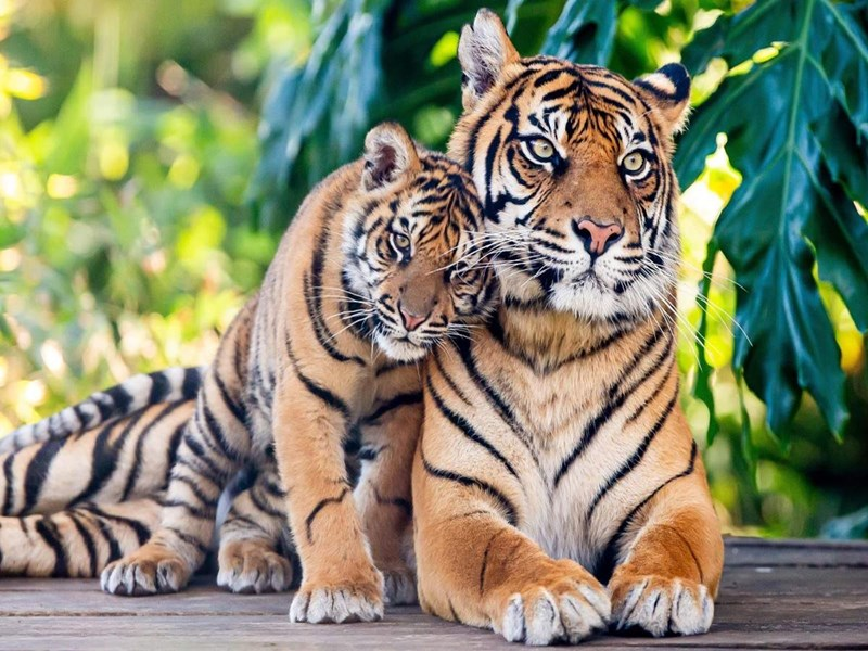 india tigers international day big cats cat animals wild life aww adorable baby tiger snuggling to an adult tiger as both look toward the viewer