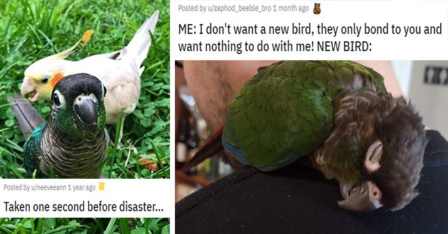 birbs birds parrots funny lol animals aww cute sweet salty pics photos | Taken one second before disaster. parrot about to bite down on another bird's tail | ME: I don't want a new bird, they only bond to you and want nothing to do with me! NEW BIRD cuddling into a person's shoulder
