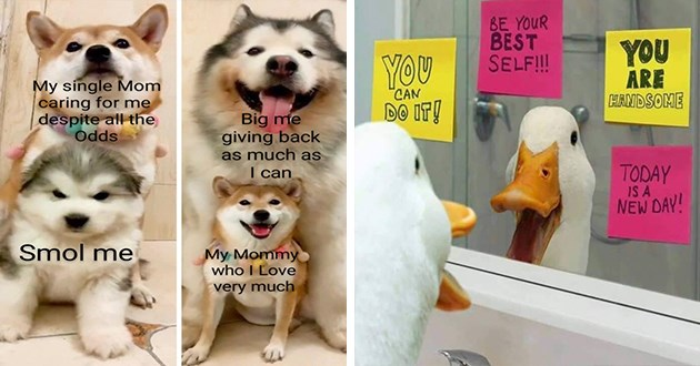 wholesome memes animals aww cute adorable pics uplifting wholesomeness cuteness animal | My single Mom caring despite all odds Smol Big giving back as much as can My Mommy who Love very much | BE BEST SELF ARE HANDSOME CAN DO TODAY IS NEW DAY! duck looking in mirror covered in post it notes with reaffirming messages