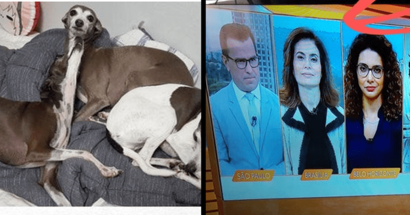 interesting real life optical illusions | three Italian greyhound dogs on a bed with one looking as if it has an unnaturally long neck | split screen TV news with one reporter dressed in a jacket that makes her seem as if she has an abnormally large head and tiny body