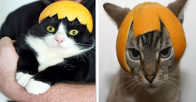 cats citrus hats funny lol weird cute adorable animals cat hat fruit peel pics