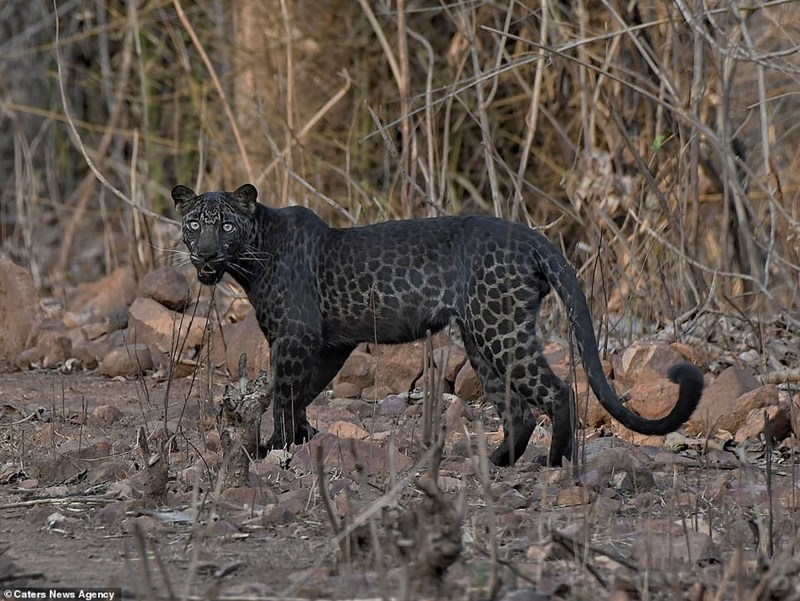 rare black leopard pics cats wildcats amazing incredible wow photography india reserve safari animals