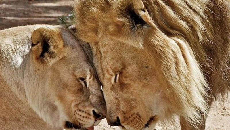 lions euthanized soulmates friends old wildcats cats health sad heartbreaking tearjerker animals | beautiful elderly lion couple touching foreheads