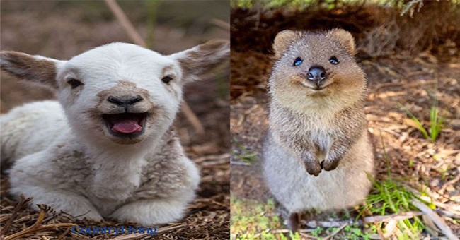 two photos of adorable animals smiling side by side, an adorable baby sheep smiling bright on the left side and a very cute quokkas smiling as it stands up and it is a thumbnail for a list of photos of a bunch of other adorable animals smiling