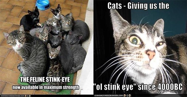 "A thumbnail of two funny cat memes both in which the cats are giving the camera the ""stink eye"" and the thumnail is for a listicle of nineteen other images some memes all of cats giving the stink eye 