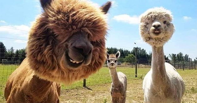 alpacas shaved animals funny hair hairstyle aww cute lol pics | hilarious alpacas with their bodies shaved so that their heads look like round floof balls