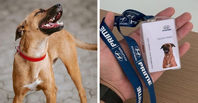 stray dog badge hyundai brazil showroom animals doggo tuscan prime instagram star job adopted | HYUNDAI HYUNDAI TUCSON PRIME NEW THINKING. NEW POSSIBILITIES. PRIME HYUNDAI HYUNDAI PRIME dog wearing a car dealership work tag