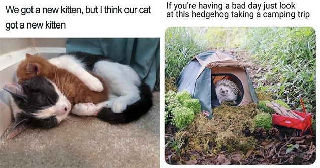 wholesome animal memes aww meme tweets cute uplifting cute adorable | got new kitten, but think our cat got new kitten cat cuddling a tiny kitten | If having bad day just look at this hedgehog taking camping trip cute hedgehog in a tiny miniature tent