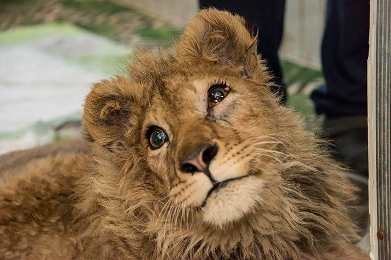 lion cub abused rescued tortured russia animals cubs wild cats wildcats rescue rehabilitation