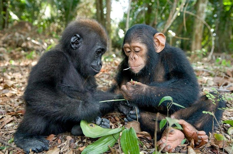 1000 words animals photos pics amazing stunning photography images life beauty | baby gorilla and baby chimpanzee playing together