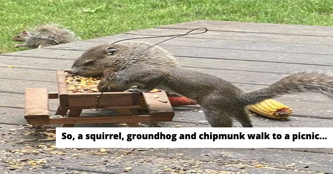 A cute photo of a squirrel and groundhog and in the background a chipmunk all having breakfast from a miniature picnic table So a squirrel, chipmunk, and groundhog walk to a picnic table beginning of a joke