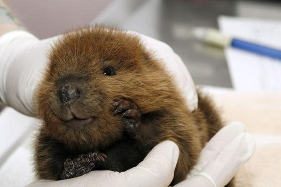 baby beavers animals cute small round adorable aww beaver pics vids