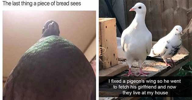pigeon bird memes tweets pigeons birds birb birbs animals funny lol cute aww | point of view last thing piece bread sees | fixed pigeon's wing so he went fetch his girlfriend and now they live at my house