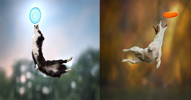 two photos side by side of dogs in mid air catching frisbees taken by italian photographer Claudio Piccoli