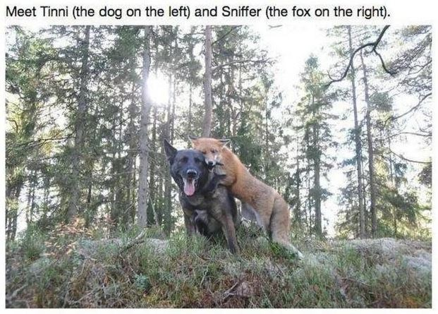 fox dog best friends animals unlikely friendship adorable aww cute love foxes dogs | Meet Tinni dog on left and Sniffer fox on right