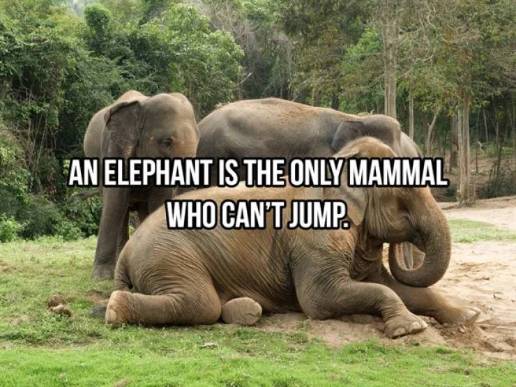 elephants elephant animal facts interesting cool amazing gentle giants beautiful animals information | AN ELEPHANT IS ONLY MAMMAL WHO CAN'T JUMP.